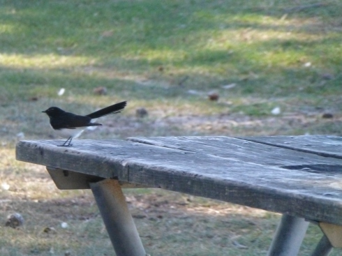 Off I Go: Willie Wagtail