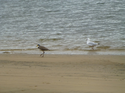 Plover and Sea-gull