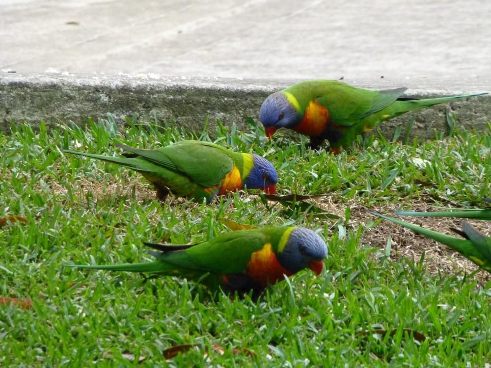 Focus on Birds: Rainbow Lorikeets